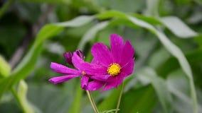Ρόδινο λουλούδι στο αεράκι απόθεμα βίντεο