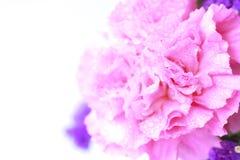Ρόδινο λουλούδι στο μαλακό ύφος χρώματος - εικόνα αποθεμάτων Στοκ Εικόνες