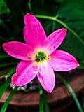 Ρόδινο λουλούδι στο δοχείο Στοκ Φωτογραφίες