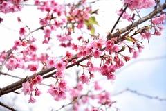 Ρόδινο λουλούδι της Ταϊλάνδης Sakura Στοκ Φωτογραφία