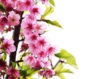 Ρόδινο λουλούδι της Ταϊλάνδης Sakura Στοκ φωτογραφία με δικαίωμα ελεύθερης χρήσης