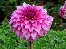 Ρόδινο λουλούδι της Dalia Στοκ Εικόνες