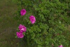 Ρόδινο λουλούδι της Rosa Στοκ Εικόνα