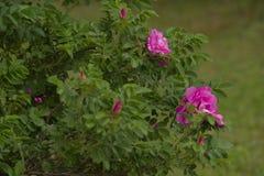 Ρόδινο λουλούδι της Rosa Στοκ Φωτογραφίες