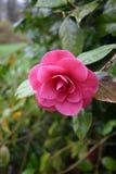 Ρόδινο λουλούδι τη βροχερή ημέρα Στοκ φωτογραφίες με δικαίωμα ελεύθερης χρήσης