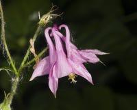 Ρόδινο λουλούδι του ευρωπαϊκού ή κοινού columbine, Aquilegia vulgaris, κινηματογράφηση σε πρώτο πλάνο, εκλεκτική εστίαση, ρηχό DO Στοκ φωτογραφίες με δικαίωμα ελεύθερης χρήσης