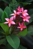 Ρόδινο λουλούδι του plumeria Στοκ εικόνες με δικαίωμα ελεύθερης χρήσης