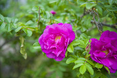 Ρόδινο λουλούδι των ροδαλών ισχίων Στοκ Εικόνες