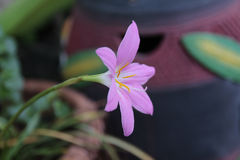Ρόδινο λουλούδι φύσης Στοκ Φωτογραφίες