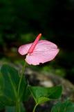 Ρόδινο λουλούδι φλαμίγκο Στοκ φωτογραφία με δικαίωμα ελεύθερης χρήσης