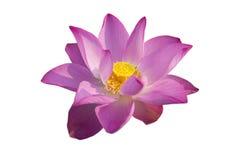 Ρόδινο λουλούδι λωτού στοκ εικόνες με δικαίωμα ελεύθερης χρήσης