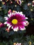 Ρόδινο λουλούδι Στοκ εικόνες με δικαίωμα ελεύθερης χρήσης