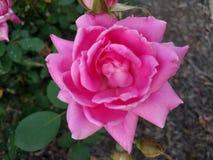 Ρόδινο λουλούδι Στοκ Φωτογραφίες