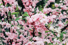 Ρόδινο λουλούδι Στοκ Εικόνες