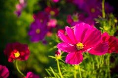 Ρόδινο λουλούδι Στοκ Εικόνα