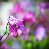Ρόδινο λουλούδι Aquilegia Στοκ Φωτογραφίες