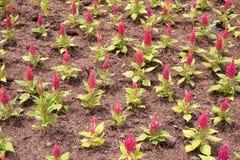 Ρόδινο λουλούδι argentea celosia Στοκ Εικόνες