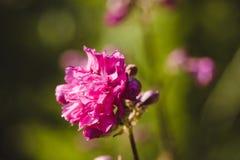 Ρόδινο λουλούδι Armeria στον κήπο Στοκ Φωτογραφία