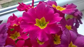 Ρόδινο λουλούδι Beautyful στοκ εικόνες
