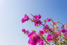 Ρόδινο λουλούδι Bougainvillea στο υπόβαθρο μπλε ουρανού Στοκ Φωτογραφίες