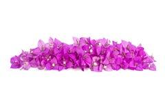 Ρόδινο λουλούδι bougainvillea Στοκ Εικόνα