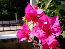 Ρόδινο λουλούδι bougainvillea Στοκ εικόνα με δικαίωμα ελεύθερης χρήσης