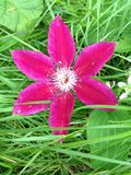 Ρόδινο λουλούδι clematis Στοκ Εικόνες