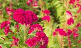 Ρόδινο λουλούδι cockscomb Στοκ Εικόνα