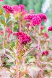 Ρόδινο λουλούδι cockscomb Plumed Στοκ εικόνα με δικαίωμα ελεύθερης χρήσης