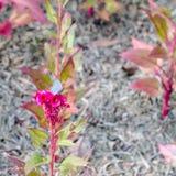 Ρόδινο λουλούδι cockscomb Plumed Στοκ φωτογραφία με δικαίωμα ελεύθερης χρήσης