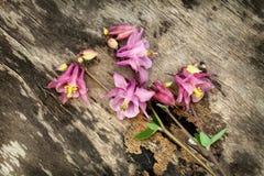 Ρόδινο λουλούδι Columbine Aquilegia στο παλαιό ξύλινο υπόβαθρο Στοκ φωτογραφία με δικαίωμα ελεύθερης χρήσης