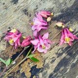 Ρόδινο λουλούδι Columbine Aquilegia στο παλαιό ξύλινο υπόβαθρο Στοκ εικόνες με δικαίωμα ελεύθερης χρήσης