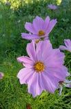 Ρόδινο λουλούδι Cosmo στοκ φωτογραφίες
