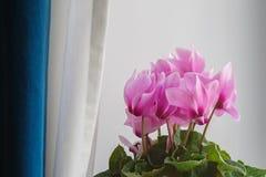 Ρόδινο λουλούδι Cyclamen Στοκ Φωτογραφία