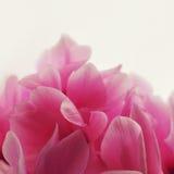Ρόδινο λουλούδι Cyclamen Στοκ Εικόνες
