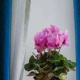 Ρόδινο λουλούδι Cyclamen Στοκ Φωτογραφίες