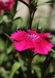 Ρόδινο λουλούδι Dianthus Στοκ Φωτογραφίες