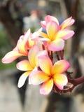 Ρόδινο λουλούδι Frangipani ή Plumaria Στοκ φωτογραφία με δικαίωμα ελεύθερης χρήσης