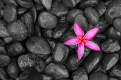 Ρόδινο λουλούδι frangipani ή plumeria στις μαύρες πέτρες ως υπόβαθρο Στοκ φωτογραφία με δικαίωμα ελεύθερης χρήσης