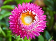 Ρόδινο λουλούδι helichrysum Στοκ Εικόνες
