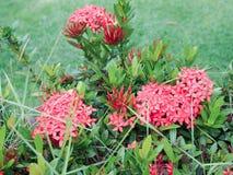 Ρόδινο λουλούδι Ixora ακίδων Στοκ Φωτογραφίες