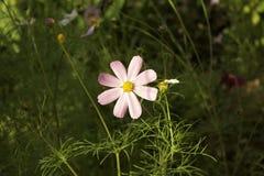 Ρόδινο λουλούδι kosmeya Στοκ εικόνα με δικαίωμα ελεύθερης χρήσης