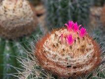 Ρόδινο λουλούδι melocactus ανθών Στοκ Εικόνες