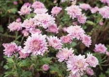 Ρόδινο λουλούδι mum στον κήπο στοκ φωτογραφίες