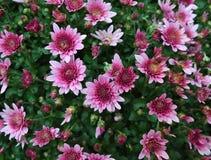 Ρόδινο λουλούδι mums Στοκ Εικόνα