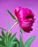 Ρόδινο λουλούδι peon σε ένα ιώδες υπόβαθρο Στοκ φωτογραφία με δικαίωμα ελεύθερης χρήσης