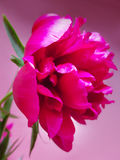 Ρόδινο λουλούδι peon σε ένα ρόδινο υπόβαθρο Στοκ φωτογραφία με δικαίωμα ελεύθερης χρήσης
