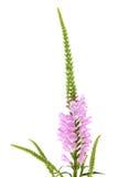 Ρόδινο λουλούδι Physostegia Στοκ φωτογραφία με δικαίωμα ελεύθερης χρήσης