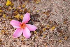 Ρόδινο λουλούδι plumeria ή frangipani στο πάτωμα Στοκ φωτογραφία με δικαίωμα ελεύθερης χρήσης