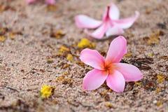 Ρόδινο λουλούδι plumeria ή frangipani στο πάτωμα Στοκ φωτογραφίες με δικαίωμα ελεύθερης χρήσης